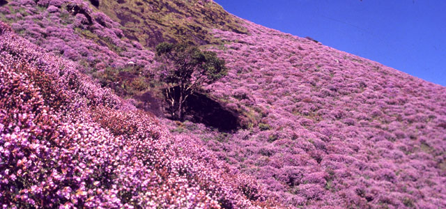 Neelakurinji is Blooming After 12 Years !!