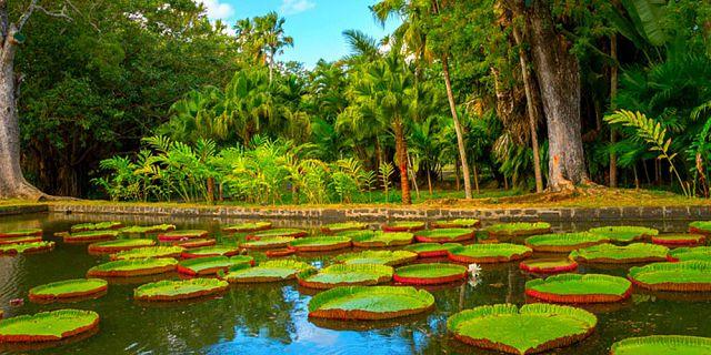 Pamplemousse Botanical Garden Mauritius