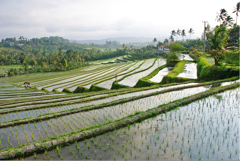 You must Trek in the Paddies of Tegalalang Rice Terraces in Bali!